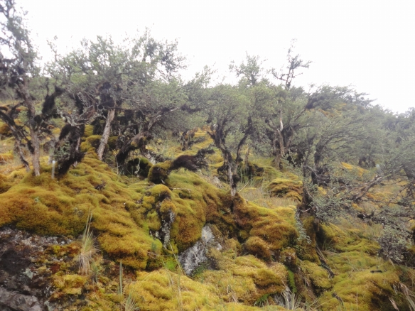 Bosque de queñual en la parte alta de las cuencas