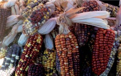 01 Variabilidad de maíces criados por las familias campesinas de la comunidad de Matara - Cajamarca.