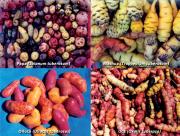 03 Diversidad y variabilidad de tubérculos andinos cultivados con sus saberes de crianza.