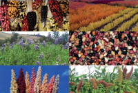 04 Diversidad y variabilidad de granos andinos cultivados por los campesinos de las comunidades alto andinas