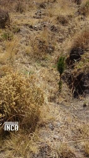 Pino, planta exótica con muchas bondades, que se cultivan en los terrenos de la comunidad. Le corresponde a 500 hoyos por comunero al año